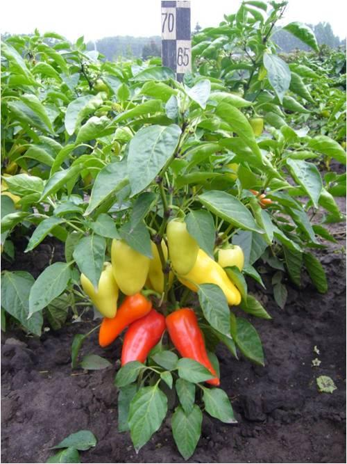 Перцы для выращивания в сибири